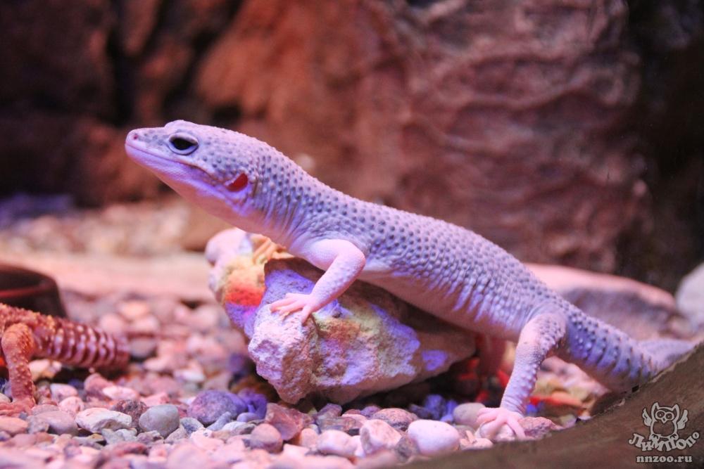 Free Images - SnappyGoat.com- bestof:Eublepharis macularius 2009 ...