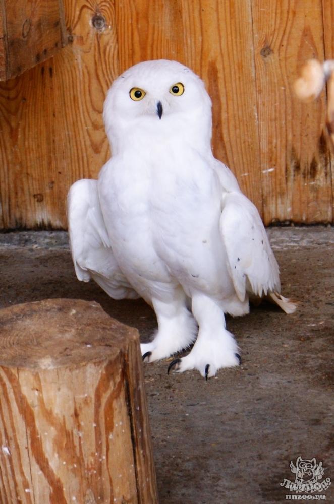 Полярная сова и описание для детей 25