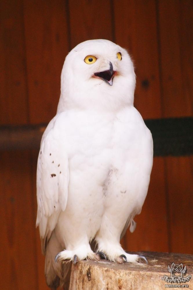 Полярная сова и описание для детей 13
