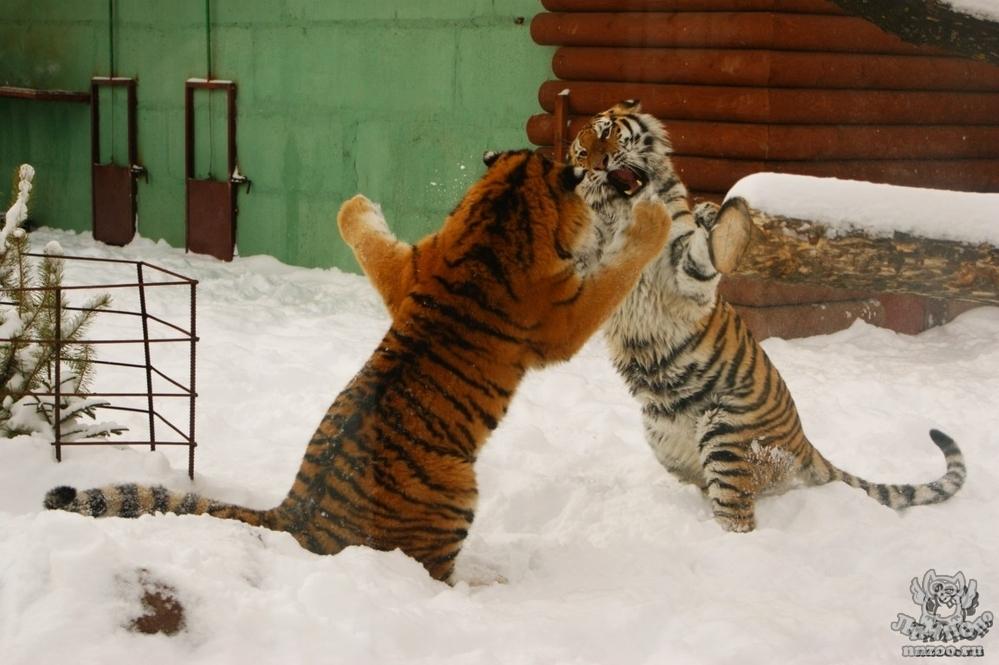 Уссурийский тигр картинки