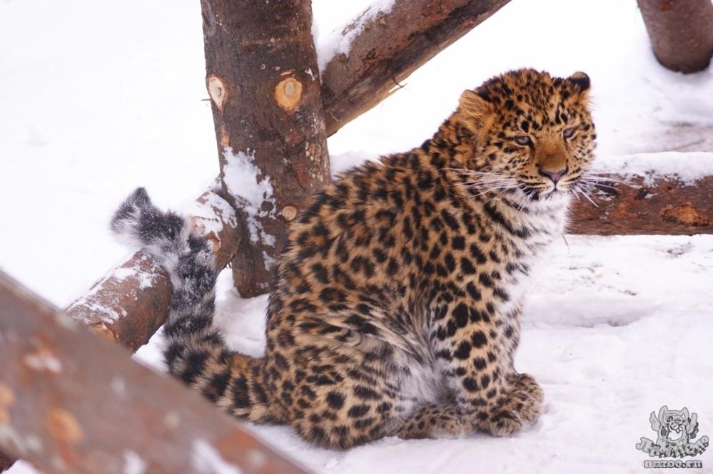 Реферат на тему дальневосточный леопард 2530
