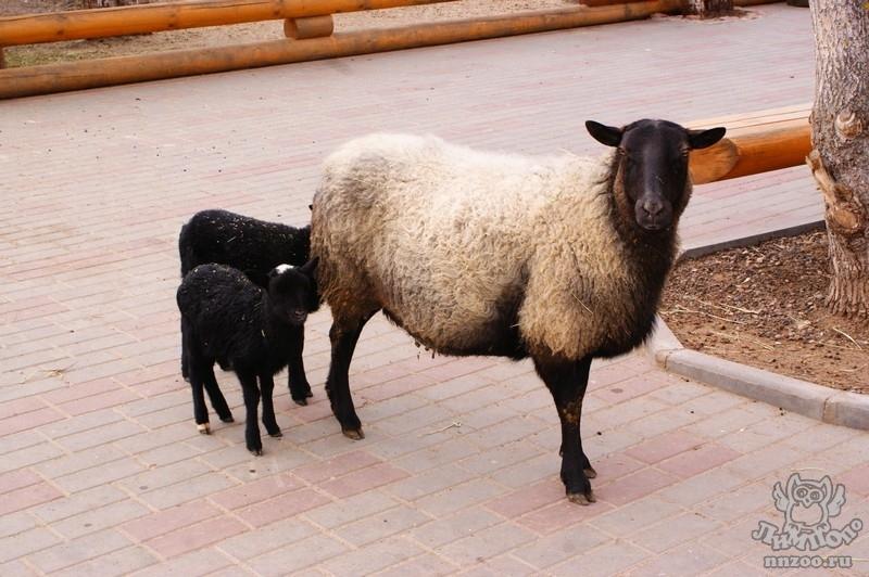 Продаём овец, ягнят, баранчиков и ярок романовской породы на разведение и на мясо.