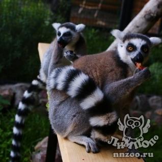Приматы кошачий лемур lemur catta