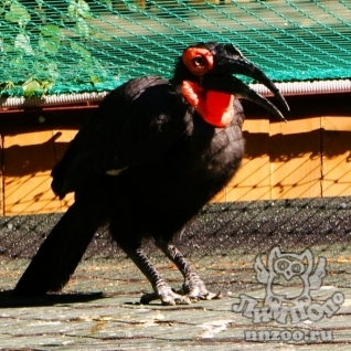 Кафрский рогатый ворон (Bucorvus cafer (leadbeateri))