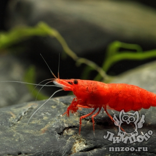 Креветка вишня (Neocaridina heterpoda var. red)