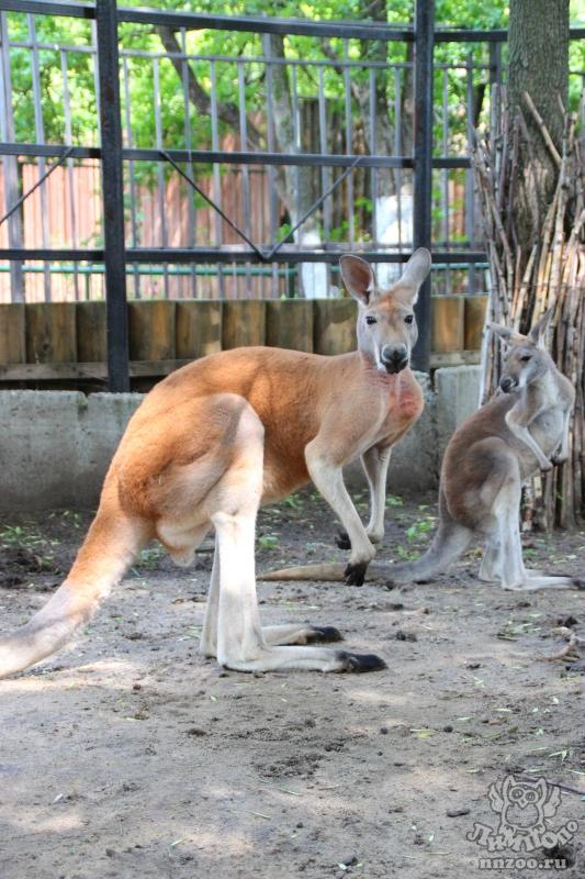 Большой рыжий кенгуру (Macropus rufus) — Зоопарк «Лимпопо» г. Нижний ... e6b147219e8f1