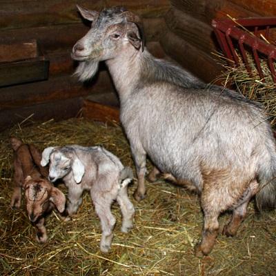 коз – символичное и