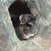 Шиншилла (Chinchilla laniger var. dom.)